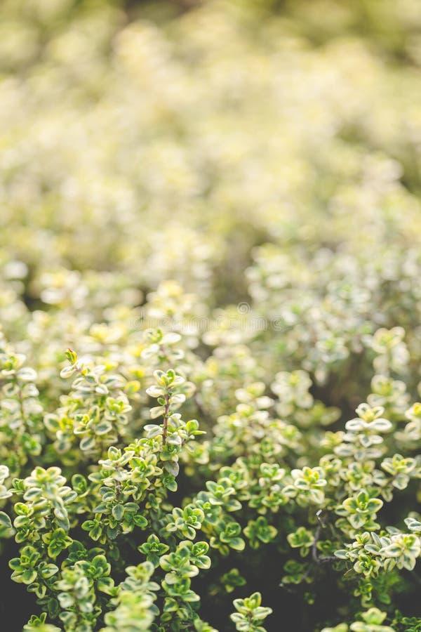 Organische Gartenarbeit, Thymiankrautanlagen stockfotografie