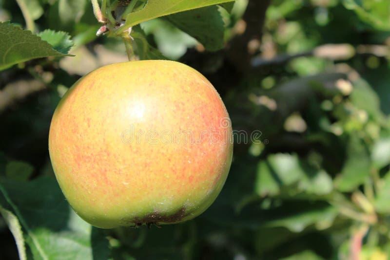 Organische gele en rode appelen in appelboomgaard royalty-vrije stock fotografie
