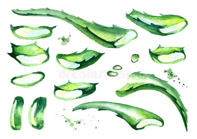 Organische geplaatste de besnoeiingsbladeren van aloëvera Waterverfhand getrokken illustratie vector illustratie