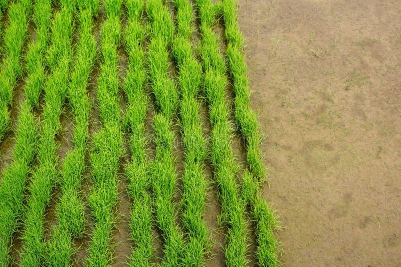 Organische grüne Reispflanzesprösslinge in der frühen Wachstumsphase Reisplantage im überschwemmten Boden des Reisfelds Mit Kopie lizenzfreies stockfoto