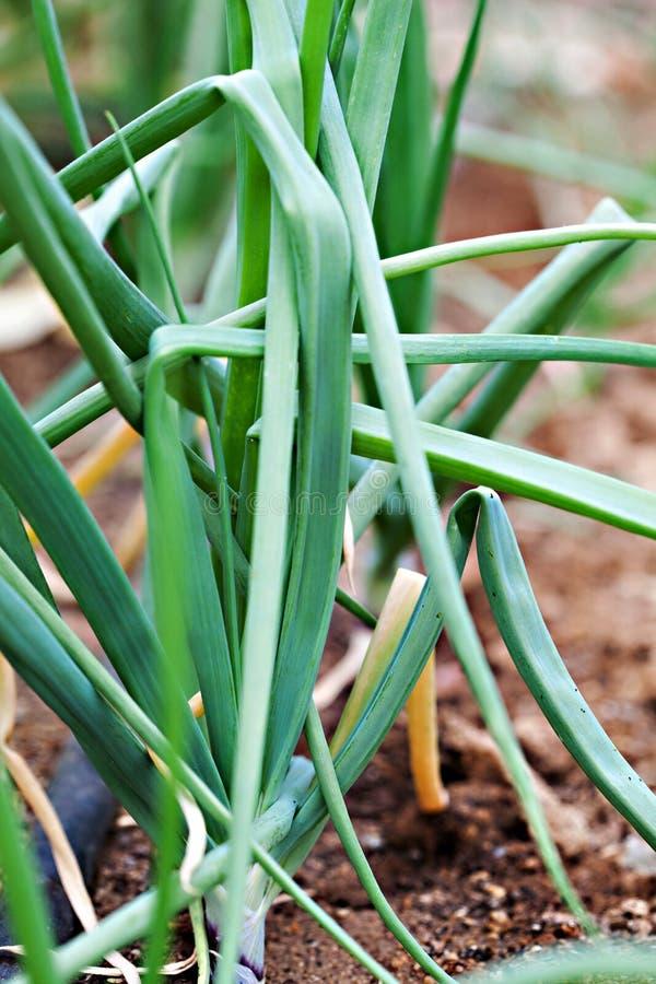 Organische grüne Zwiebeln lizenzfreie stockbilder