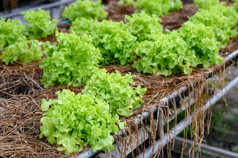 Organische groene eiken sla in aanplanting royalty-vrije stock foto's