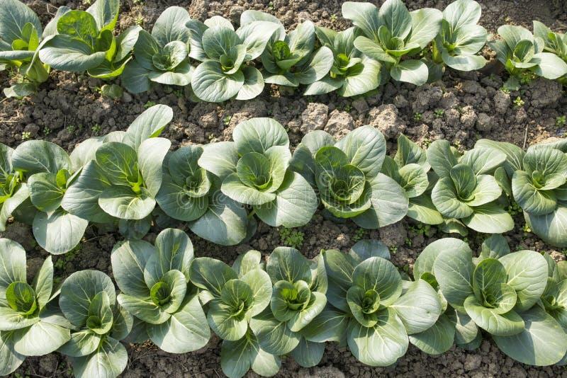 Organische groene groenten stock foto's