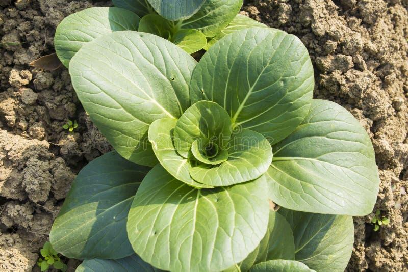 Organische groene groenten royalty-vrije stock foto's