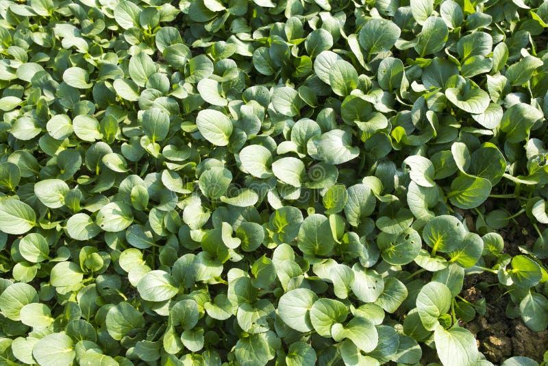 Organische groene groenten stock fotografie