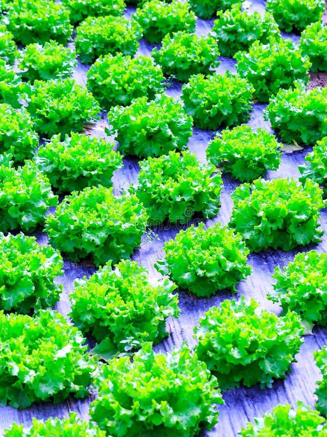 Organische groene van de slainstallaties of salade groentecultuur in r royalty-vrije stock afbeelding