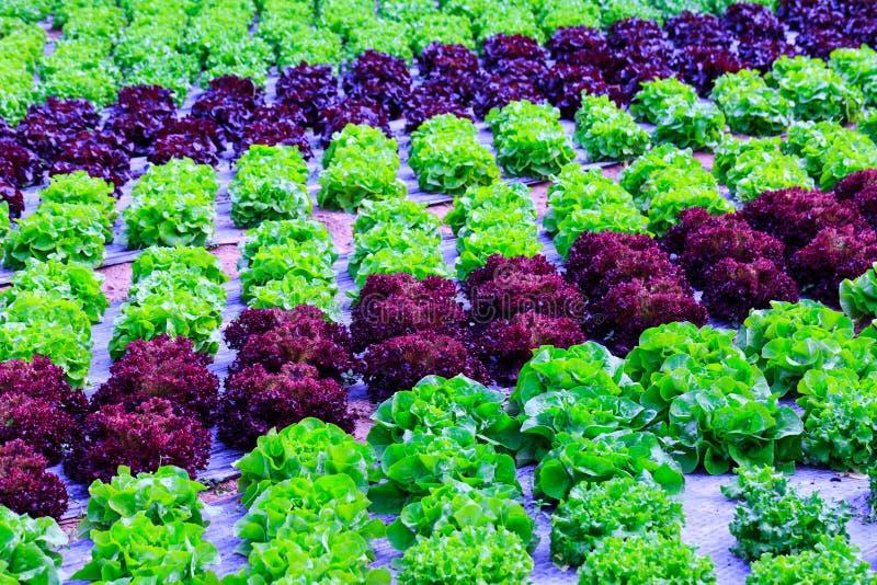 Organische groene van de slainstallaties of salade groentecultuur in r stock afbeelding