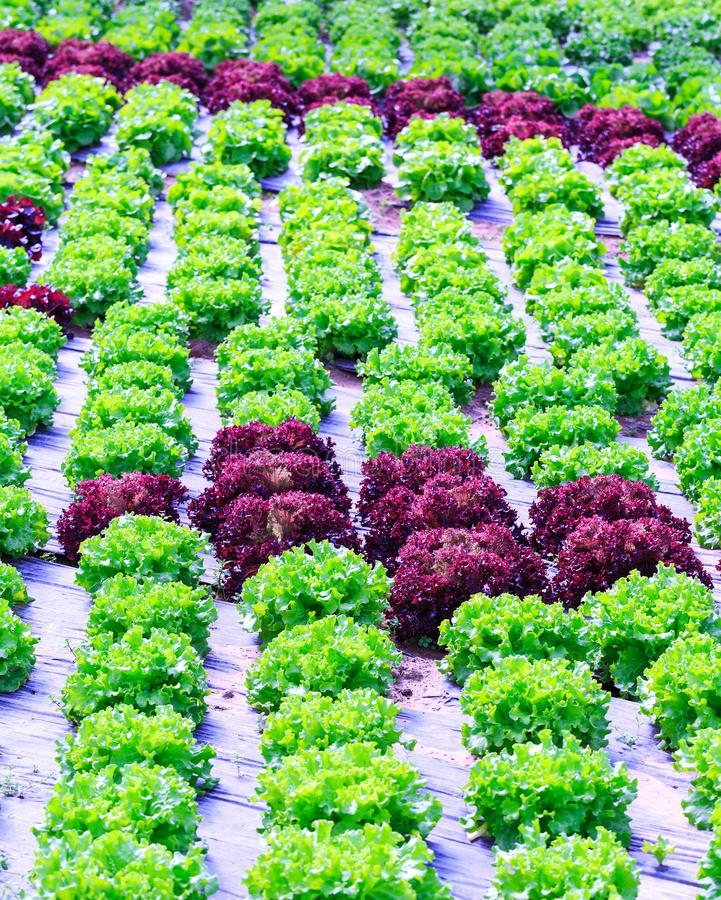 Organische groene van de slainstallaties of salade groentecultuur in r stock afbeeldingen