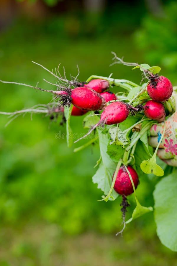 Organische groenten Landbouwershanden met vers geoogste groenten Vers geoogste radijs Bos van groenten in a stock afbeelding