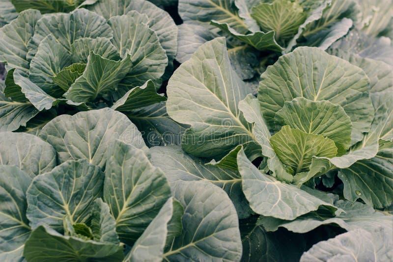 Organische groenten Verse die savooiekool op de tuin wordt geoogst royalty-vrije stock afbeeldingen
