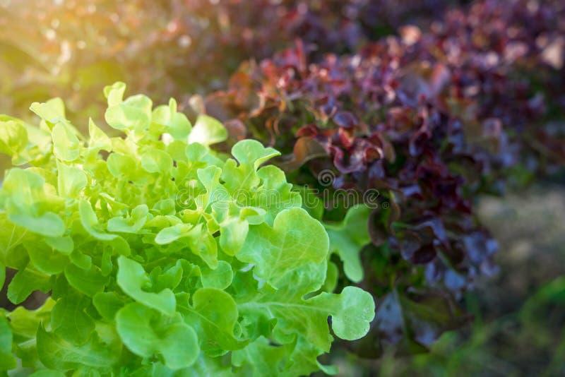Organische het plantaardige groeien percelen en hydroponic groenten stock afbeelding
