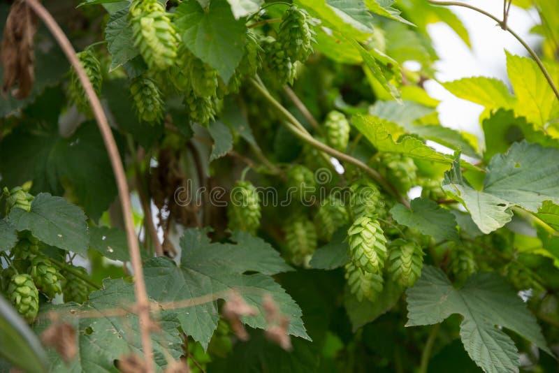 Organische Hopfen am Bauernhof lizenzfreie stockbilder