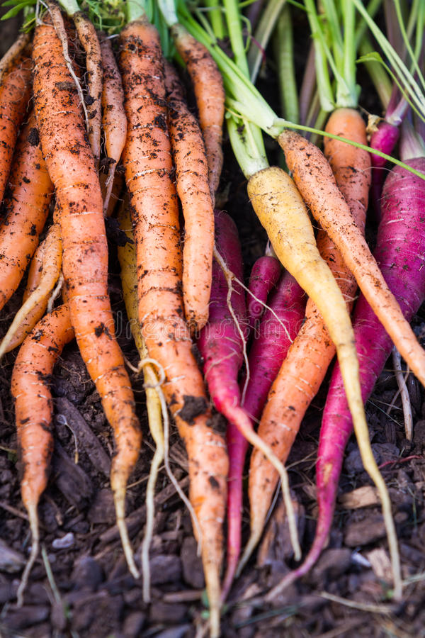 Organische Karotten stockfotos