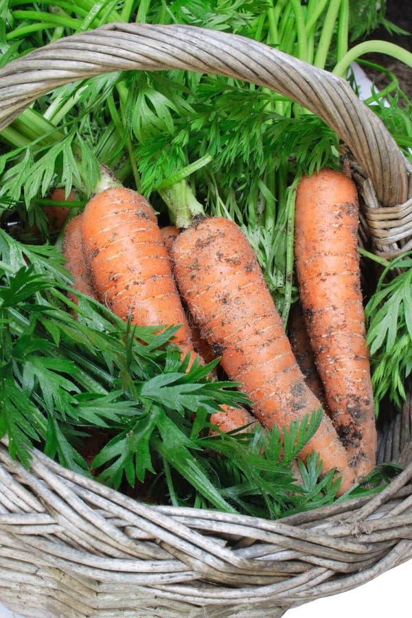 Organische Karotten im Korb stockbild