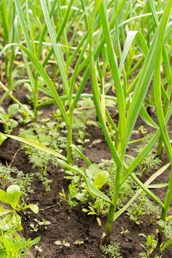 Organische Knoblauchknollen, die im Boden wachsen lizenzfreie stockfotos