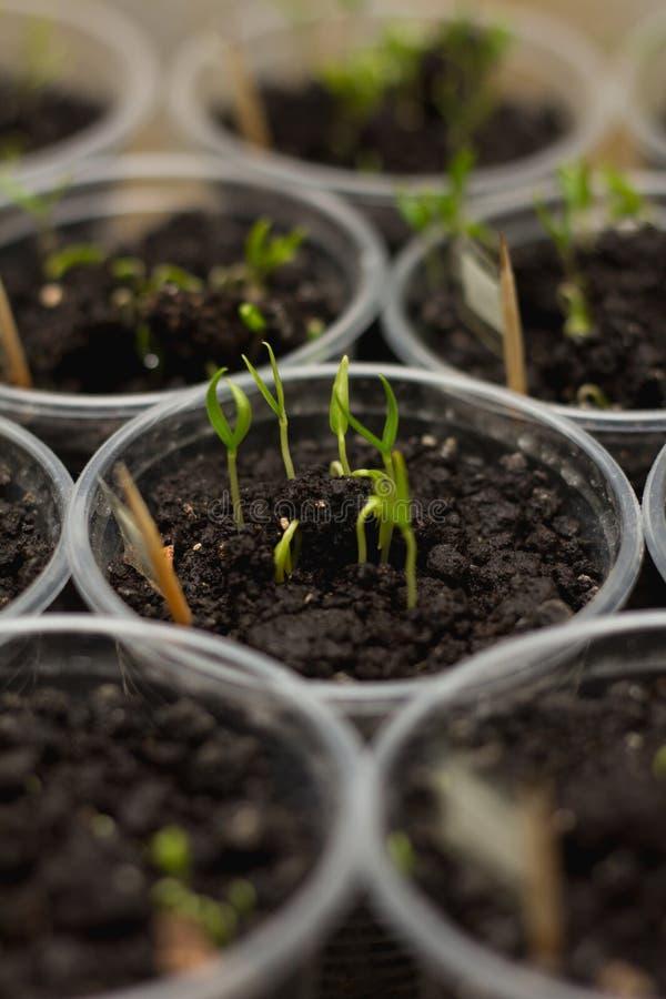 Organische komkommerspruiten in grond als achtergrond stock foto's