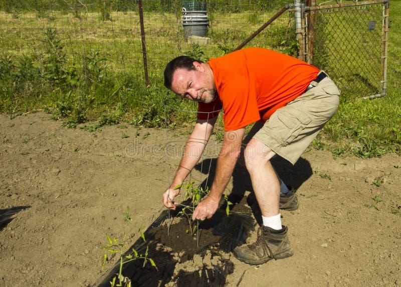 Organische Landbouwer Adjusting een Tomatenkooi stock fotografie