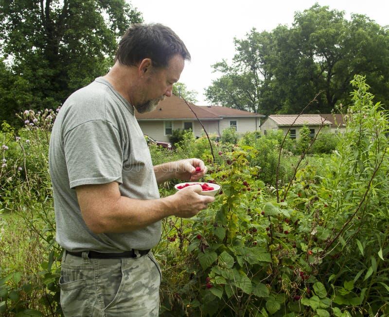 Organische Landbouwer Picking Red Raspberries royalty-vrije stock foto