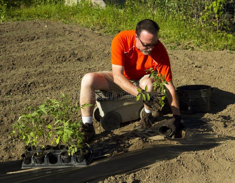 Organische Landbouwer Planting Tomato Plants stock foto's