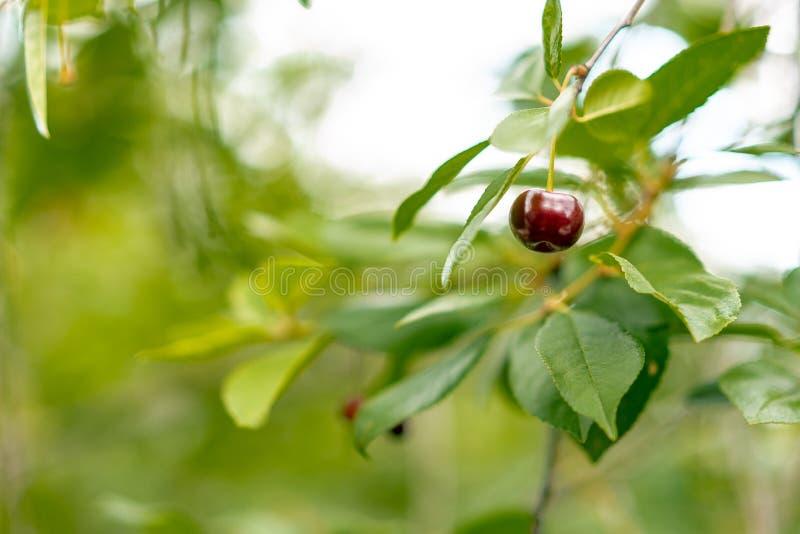 Organische rijpe kersen op een boomtak stock foto