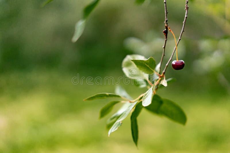 Organische rijpe kersen op een boomtak royalty-vrije stock afbeelding