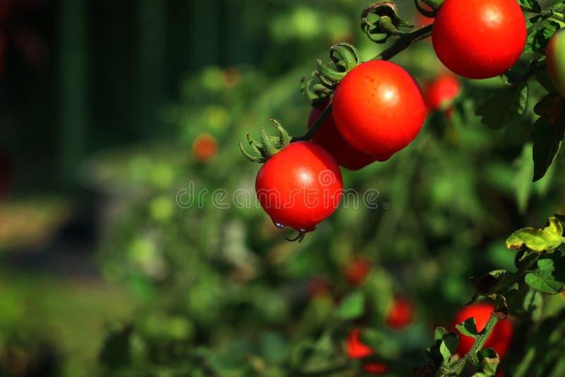 Organische rijpe rode tomaten op wijnstok van een tomatenboom in tuin stock foto