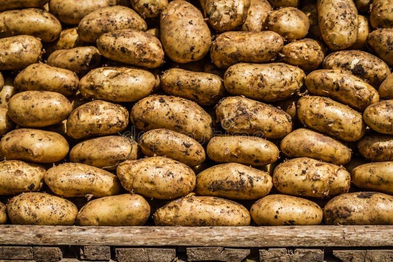Organische Ruwe Aardappels royalty-vrije stock foto