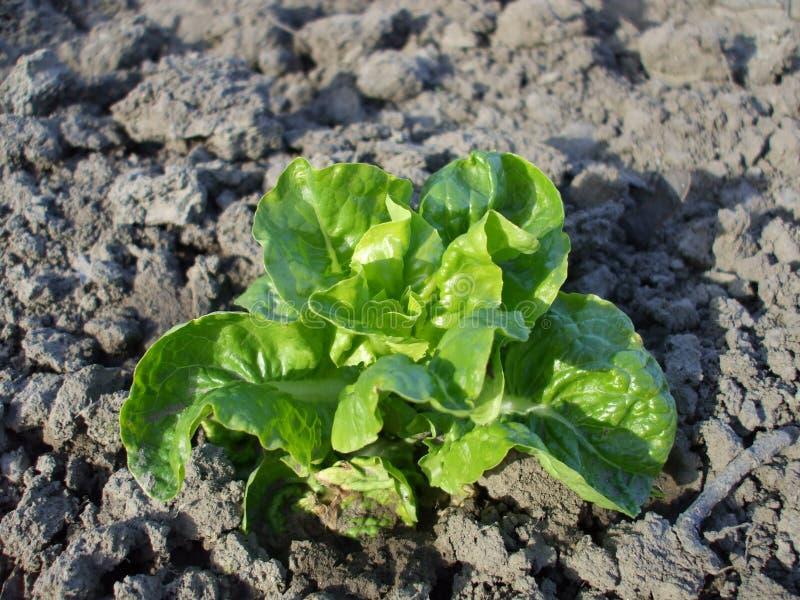 Organische salade in tuin royalty-vrije stock fotografie