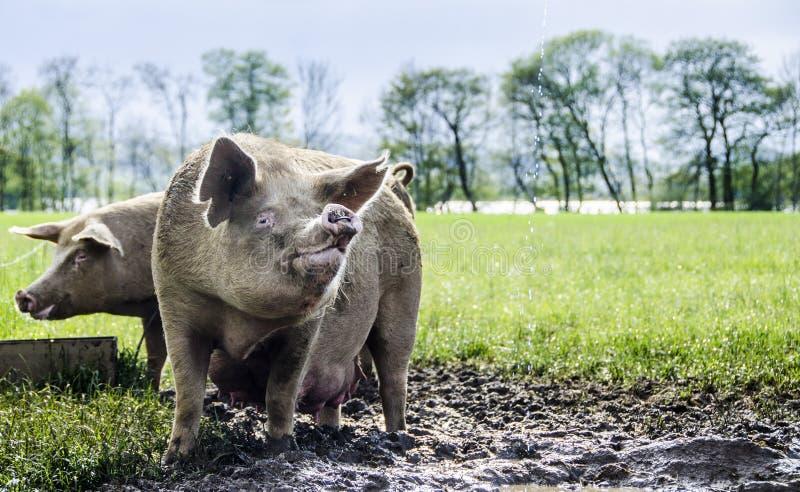 Organische Schweine stockfoto