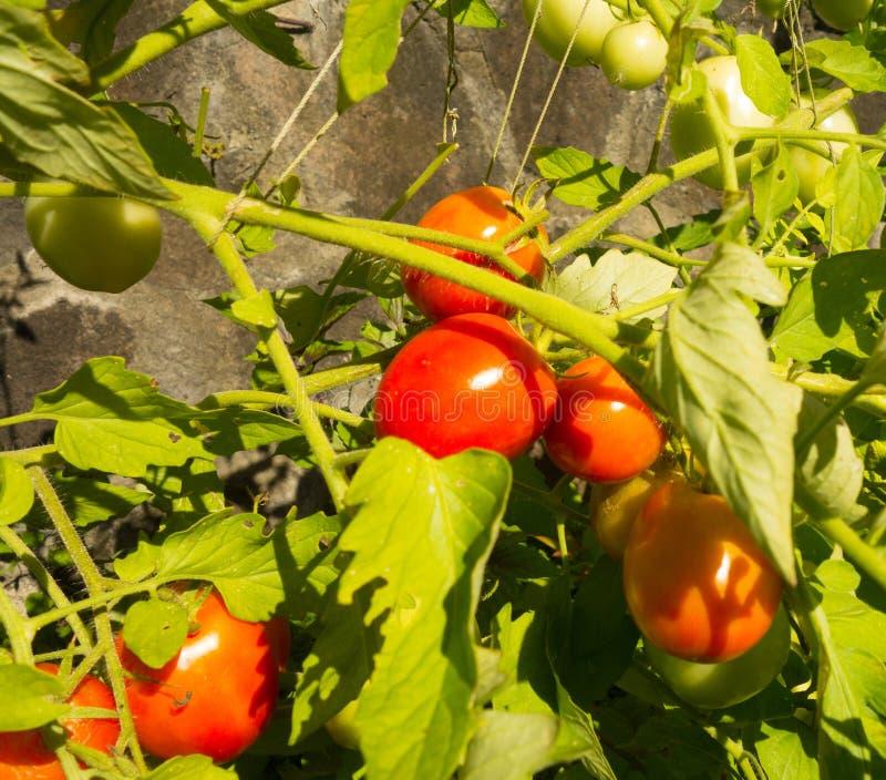 Organische Tomaten, die in einem aquaponics Garten auf Bequia gewachsen werden stockbilder