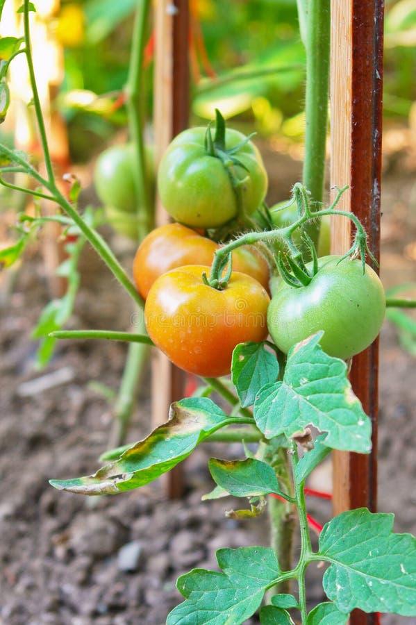 Organische unausgereifte Tomaten auf Zweig stockfotos