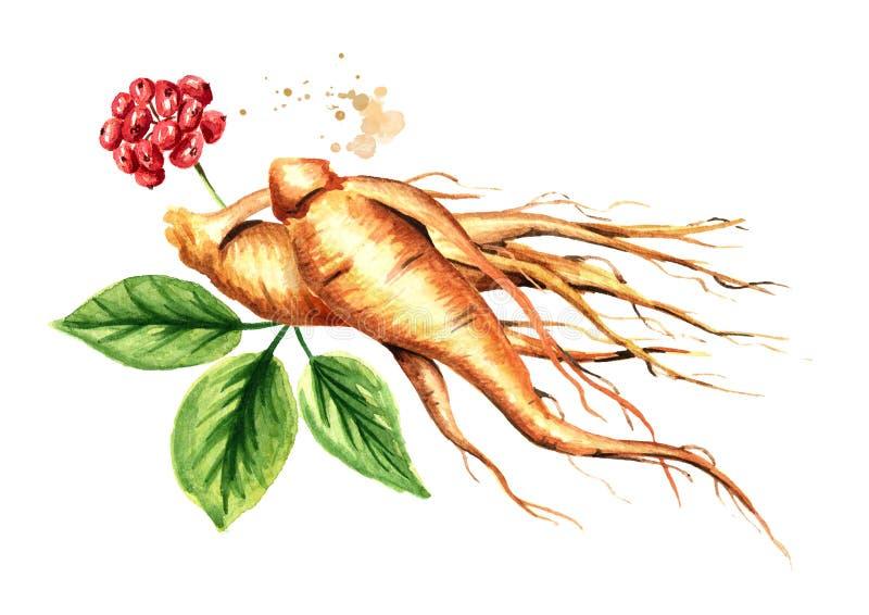 Organische verse ginsengwortel en groene bladeren Waterverfhand getrokken die illustratie op witte achtergrond wordt geïsoleerd vector illustratie