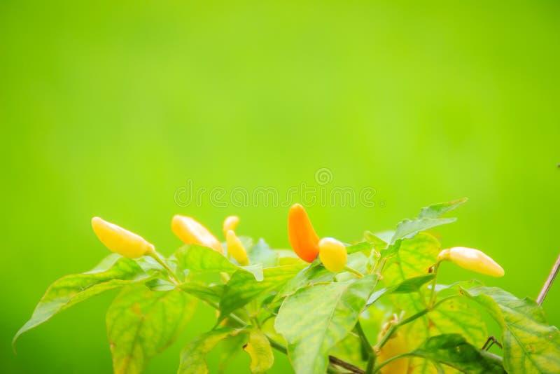 Organische vogelspaanse peper die (Capsicum frutescens) in groene rijst F bewerken stock afbeelding