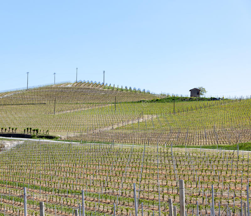 Organische wijngaarden in Italië Lentetijd, zonnige dag Wijnstokwerven stock foto's
