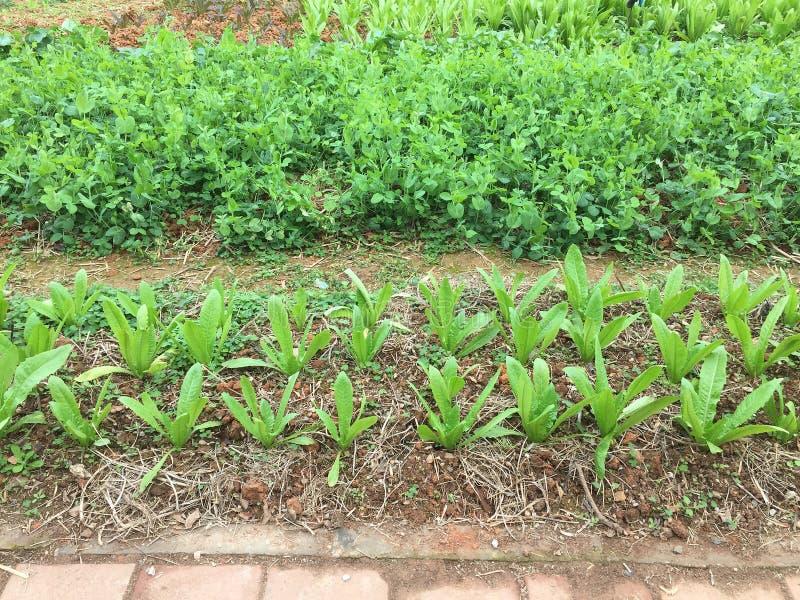 Organische Zeit des Gemüsefeldes im Frühjahr stockfotos