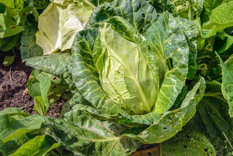 Organischer angebauter vorangegangener Kohl vom Abschluss lizenzfreies stockbild