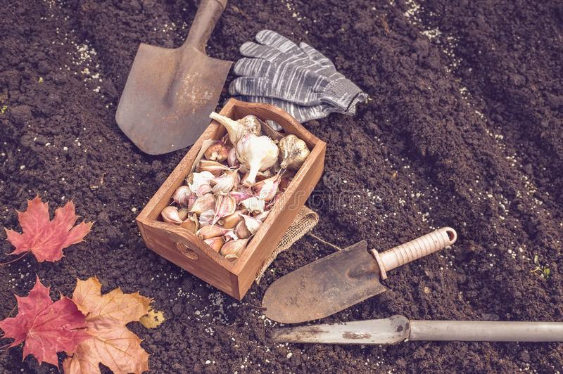 Organischer Gemüsegarten im Spätsommer Herbst, der Knoblauch im organischen städtischen Garten pflanzt lizenzfreie stockfotografie