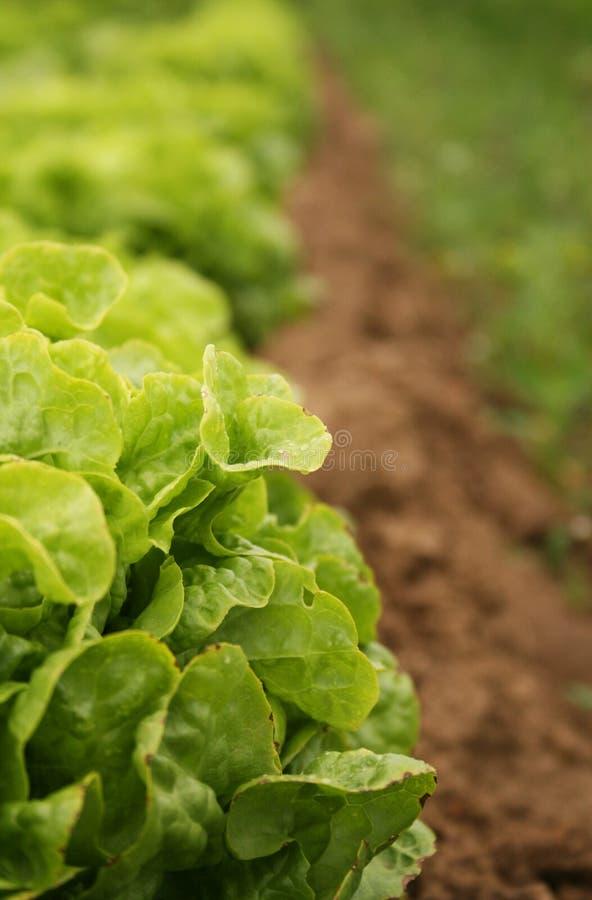 Organischer Kopfsalat, der in einer Reihe wächst lizenzfreies stockfoto