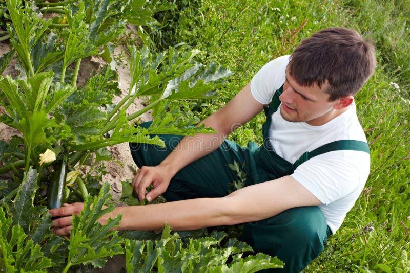 Organischer Landwirt, der Zucchini überprüft stockbilder