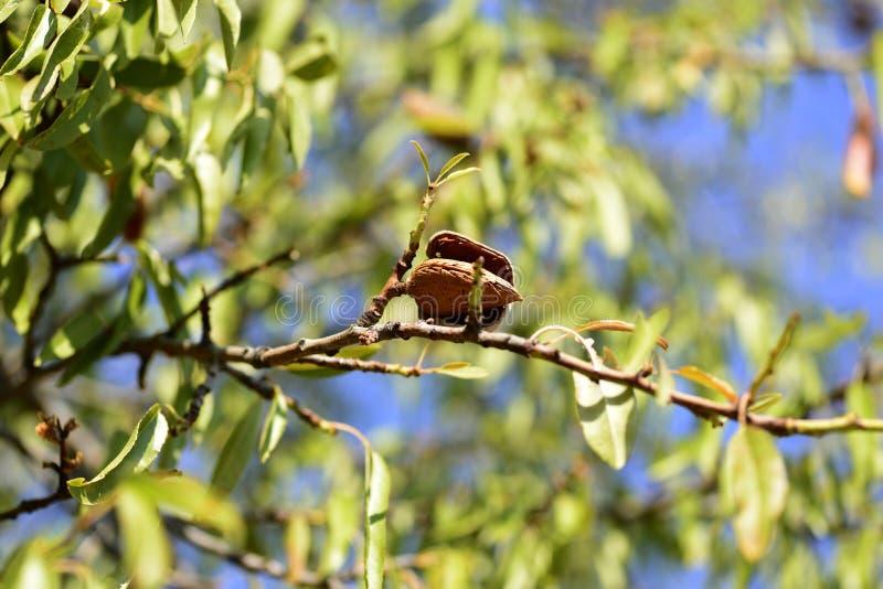 Organischer Mandelbaum lizenzfreie stockfotografie