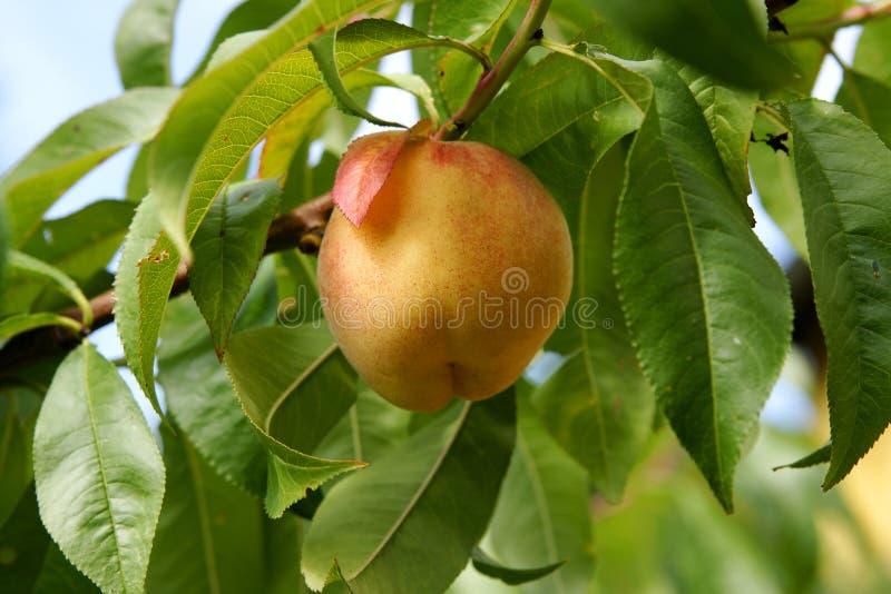 Organischer Pfirsich stockfoto