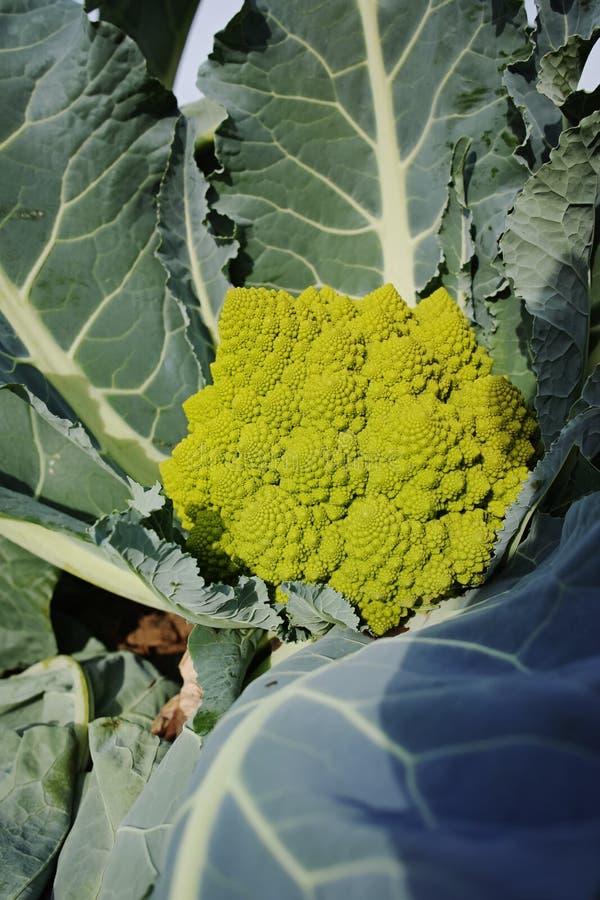 Organischer reifer grüner Romanesco-Brokkoli oder römischer Blumenkohl, Broc stockfotografie