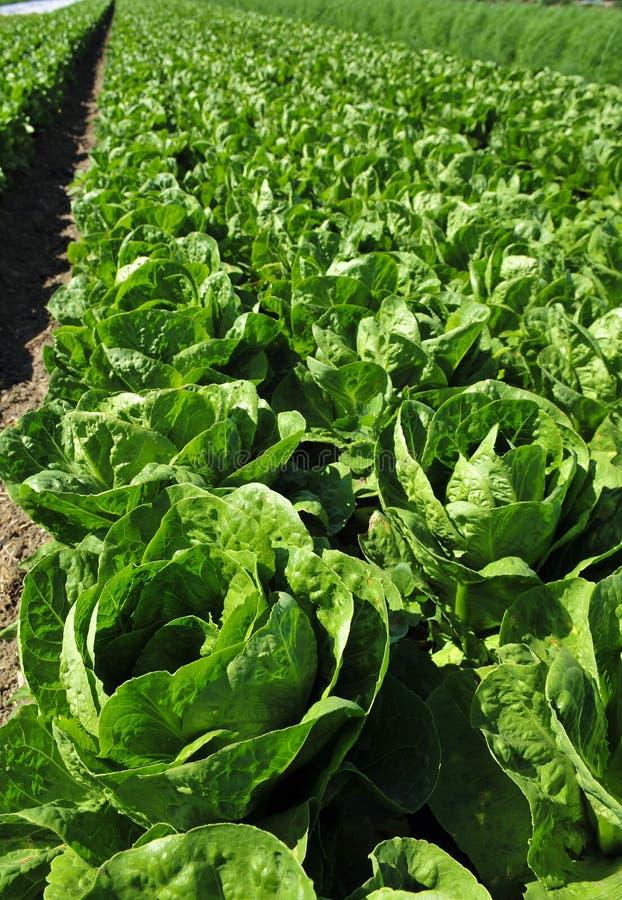 Organischer Romaine-Kopfsalat stockfoto