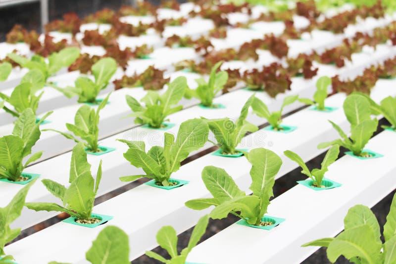 Organischer Salat von der Hydroponik mit flüssigem Boden im Nicht-Boden-Wasser am Biohof lizenzfreie stockbilder