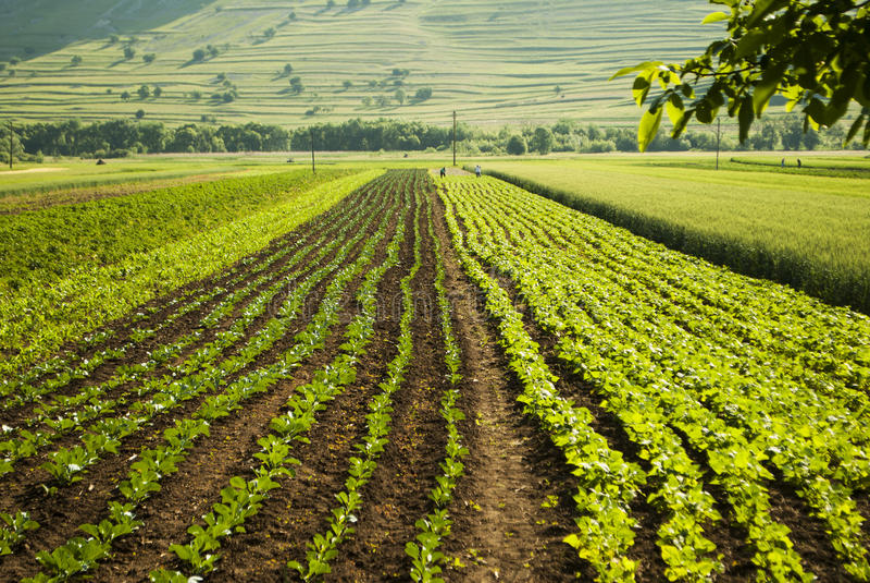 Organisches Gemüseplantagenfeld lizenzfreie stockbilder
