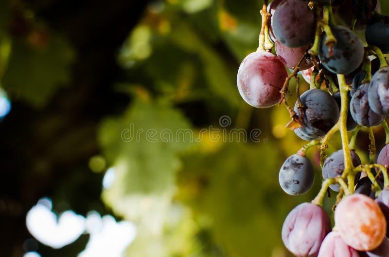 Organisches Traubenhängen im Freien stockbilder