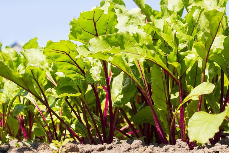 Organisk betagräsplan lämnar att växa i trädgården, hushållbakgrund, unga grönsaker royaltyfri fotografi