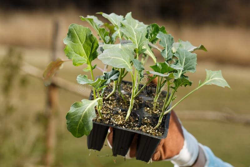Organisk broccoliplantasamling som förbereds att planteras på trädgården royaltyfria bilder