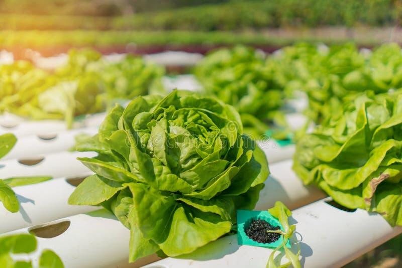 Organisk hydroponic grönsak i odlinglantgården royaltyfri bild