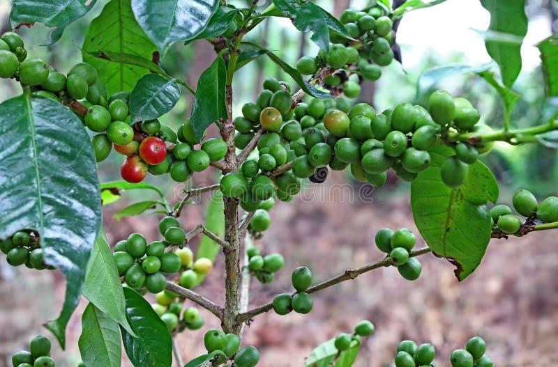Organisk kaffeväxt med att mogna bönor royaltyfria bilder